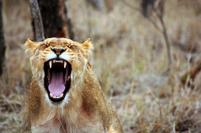 lion-350690_1280